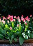 Cama de flor cor-de-rosa dos tulips com fundo preto. Fotografia de Stock Royalty Free