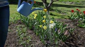 Cama de flor da água da menina do jardineiro com a lata molhando na mola Fotos de Stock