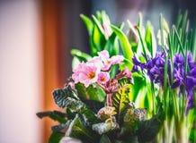 Cama de flor da mola com prímula e açafrões Foto de Stock