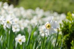 Cama de flor das flores brancas Foto de Stock Royalty Free