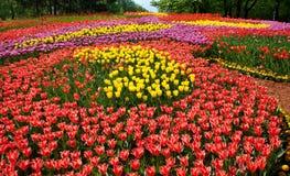 Cama de flor de los tulipanes Fotografía de archivo