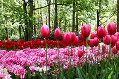 Cama de flor de tulipanes en el fondo de los árboles Imagen de archivo