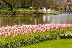Cama de flor de tulipanes rosados en el parque en Keukenhof Foto de archivo libre de regalías