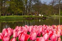 Cama de flor de tulipas cor-de-rosa como o primeiro plano no parque em Keukenhof Imagens de Stock