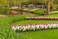 Cama de flor del jacinto blanco y rosado en el parque en Keukenhof Fotografía de archivo libre de regalías