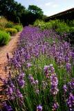 Cama de flor del jardín de la lavanda imagenes de archivo