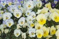 Cama de flor do amarelo e da luz - pansies azuis Imagem de Stock Royalty Free
