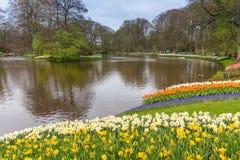 Cama de flor do narciso amarelo no parque em Keukenhof Foto de Stock