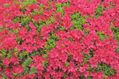 a cama de flor do rododendro Imagens de Stock Royalty Free