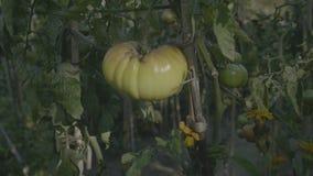 Cama de flor do tomate no por do sol Tomates amarelos com hastes do apoio video estoque