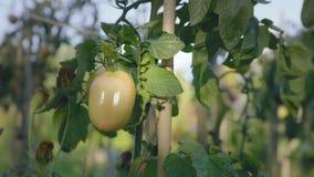 Cama de flor do tomate no por do sol Tomates amarelos com hastes do apoio filme