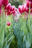 A cama de flor dos tulips Fotografia de Stock Royalty Free