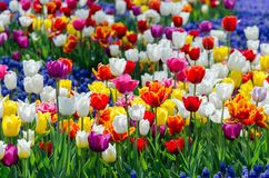 Cama de flor floreciente grande con los tulipanes h?bridos multicolores fotografía de archivo