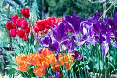 Cama de flor por completo de tulipanes multicolores vibrantes en la plena floración fotografía de archivo libre de regalías