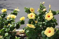 Cama de flor tropical amarilla del hibisco fotografía de archivo