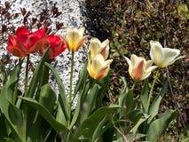 Cama de flor de tulipas coloridas em um dia de mola fotos de stock