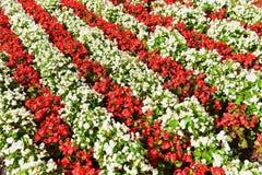 Cama de flor vermelha & branca Fotos de Stock Royalty Free