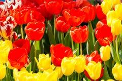 Cama de flores amarelas e vermelhas com fundo obscuro imagens de stock royalty free
