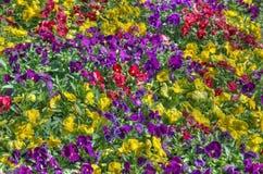 Cama de flores colorida Imagens de Stock Royalty Free