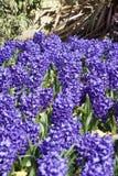 Cama de jacintos azules en luz del sol brillante fotografía de archivo