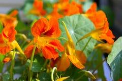 Cama de las flores anaranjadas de la capuchina, contra la perspectiva del follaje verde Foto de archivo