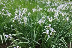 Cama de las flores del iris de la mariposa de la violeta pálida Foto de archivo
