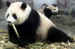 Cama de las pandas Imágenes de archivo libres de regalías