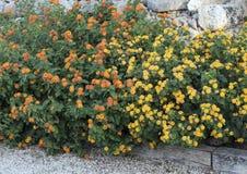Cama de las plantas del Lantana con los racimos de flor amarillos y anaranjados imagen de archivo libre de regalías