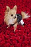 Cama de rosas imagen de archivo libre de regalías