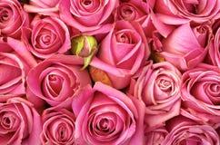 Cama de rosas Fotos de archivo