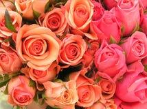 Cama de rosas Foto de archivo