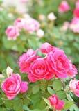 Cama de rosas Fotografía de archivo libre de regalías
