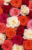 Cama de rosas imagem de stock royalty free