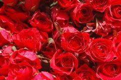 Cama de rosas vermelhas Fotografia de Stock