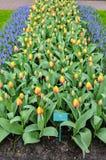 Cama de tulipán Imagenes de archivo