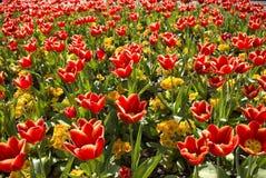 Cama de tulipán Fotos de archivo