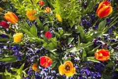 Cama de tulipa na mola Fotos de Stock