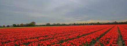 Cama de tulipa vermelha Fotos de Stock