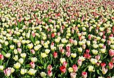 Cama de tulipanes Imagenes de archivo