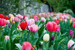Cama de tulipanes Fotos de archivo libres de regalías