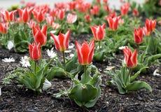 Cama de tulipanes Imagen de archivo