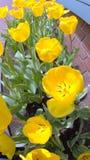 Cama de tulipanes amarillos Foto de archivo