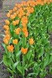 Cama de tulipanes anaranjados Imagen de archivo