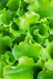 Cama del jardín con las hojas verdes de la lechuga Imagen de archivo libre de regalías