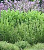 Cama del jardín de hierbas Foto de archivo libre de regalías
