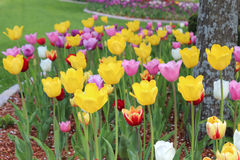 Cama del jardín de tulipanes Imagen de archivo