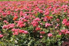 Cama do flox do jardim Imagens de Stock Royalty Free
