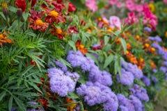 Cama do jardim do bluemink e do cravo-de-defunto francês foto de stock royalty free