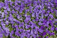 Cama do jardim com flores violetas Imagens de Stock Royalty Free