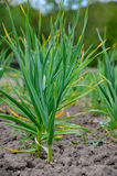 Cama do jardim do alho verde Fotos de Stock Royalty Free